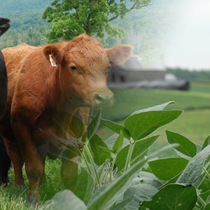 Cattle, soybeans and red barn