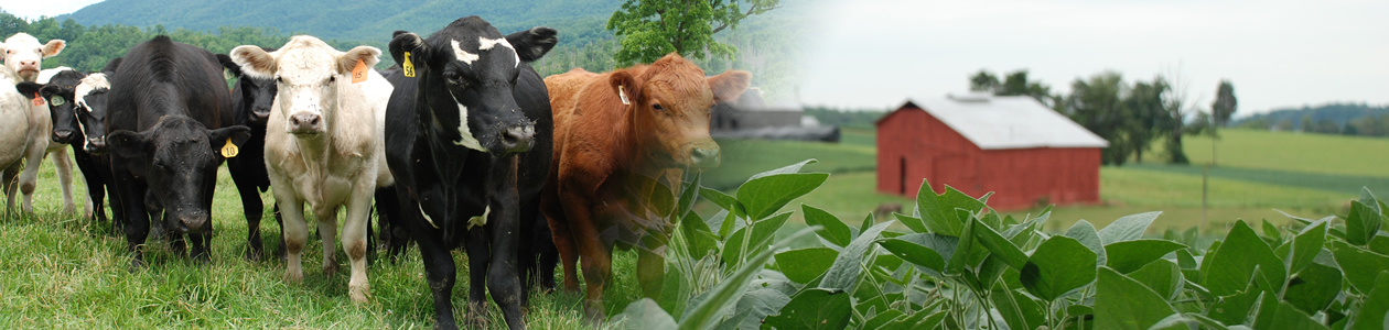 Collage of images of cattle and soybeans with red barn in background