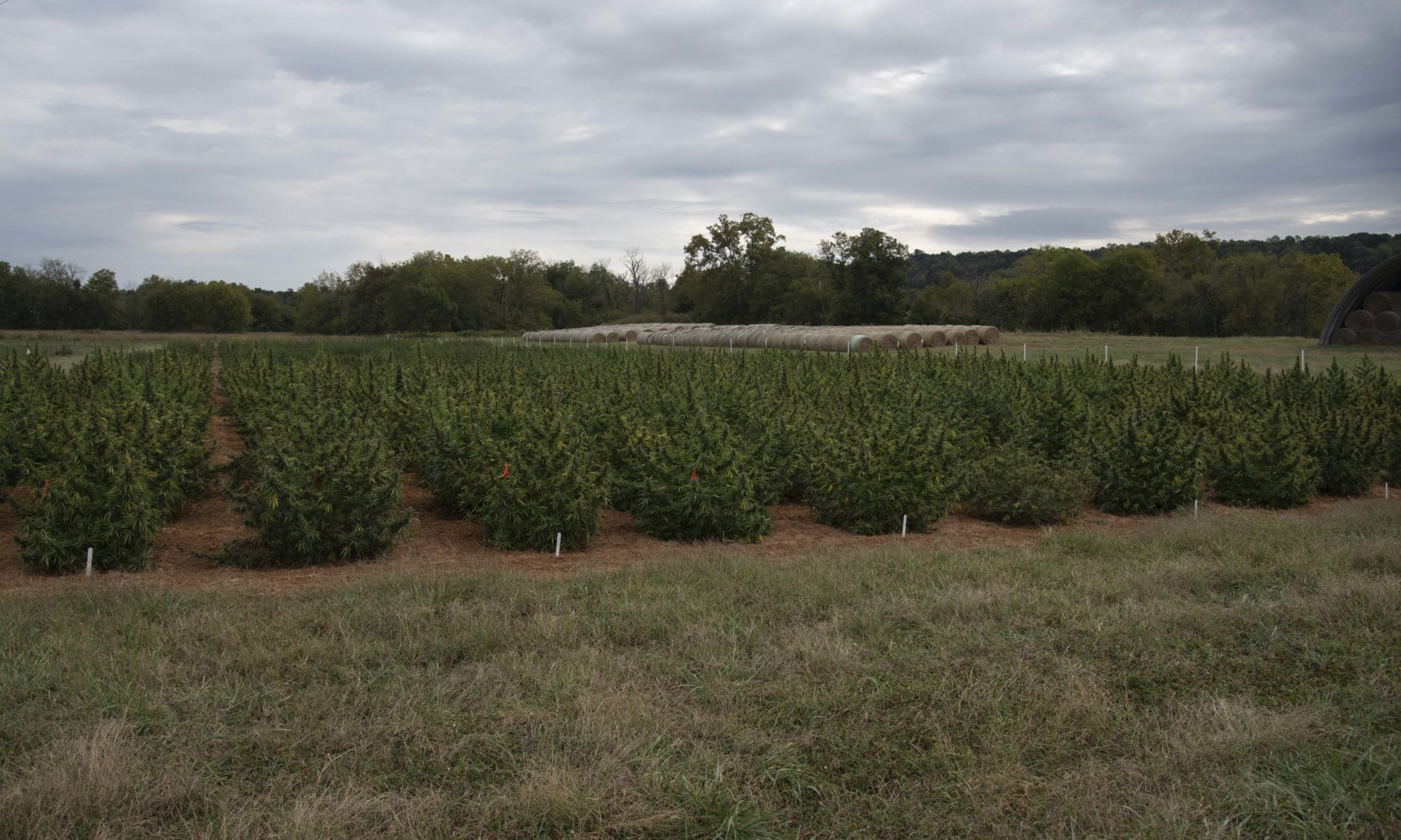Hemp plants at Northeast AgResearch and Education Center