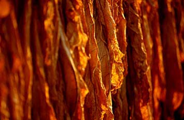 Tobacco hanging to cure