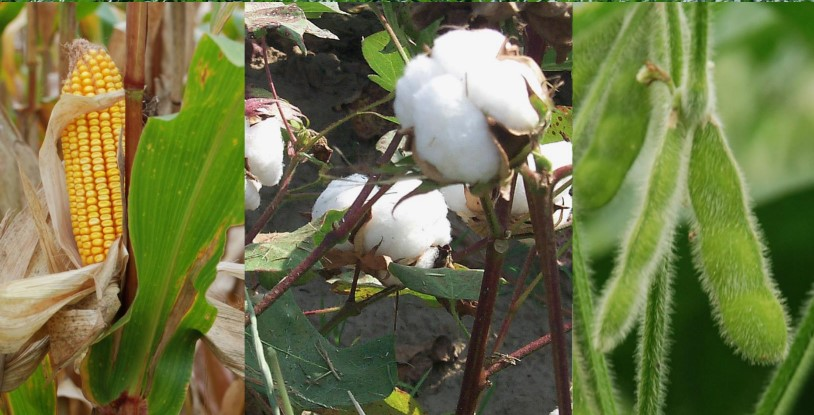 Collage of images of corn, cotton and soybeans