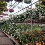 Hanging baskets and bedding plants in greenhouse